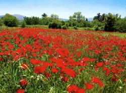 Λουλούδι του Πάρνωνα