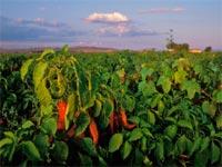 Καλλιέργεια κόκκινης πιπεριάς