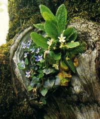 Εθνικός Δρυμός Βίκου - Αώου. Βιόλες (Viola sp.) και πρίμουλα (Primula vulgaris) σε κορμό δέντρου.