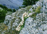 Εθνικός Δρυμός Βίκου - Αώου. Σαξιφράγκες (Saxifraga sprureri)
