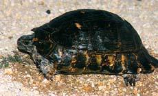 Κρασπεδωτή χελώνα (Testudo marginata)