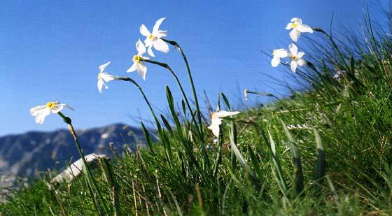 Εθνικός Δρυμός Βίκου - Αώου. Νάρκισσος ο ποιητικός (Narcisus poeticus)