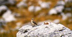 Σταχτοπετροκλής (Oeananthe oenanthe)