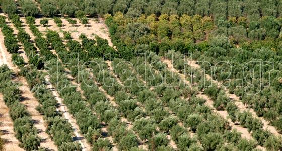Olive grove in the area of Krousonas