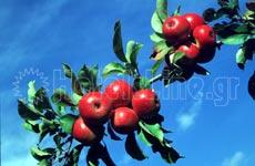 Ζαγορά. Τα περίφημα μήλα της Ζαγοράς