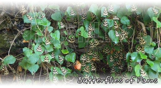 Πεταλούδες της Πάρου